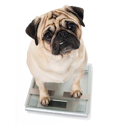 intesto-übergewicht-hunde